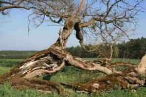 Die Maulbeerbaumallee